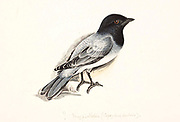 black-headed cuckooshrike (Lalage melanoptera syn Coracina melanoptera) is a species of cuckooshrike found in the Indian Subcontinent and Southeast Asia. 18th century watercolor painting by Elizabeth Gwillim. Lady Elizabeth Symonds Gwillim (21 April 1763 – 21 December 1807) was an artist married to Sir Henry Gwillim, Puisne Judge at the Madras high court until 1808. Lady Gwillim painted a series of about 200 watercolours of Indian birds. Produced about 20 years before John James Audubon, her work has been acclaimed for its accuracy and natural postures as they were drawn from observations of the birds in life. She also painted fishes and flowers. McGill University Library and Archives