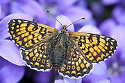 Glanville Fritillary Butterfly, Melitaea cinxia, UK,  Nymphalidae, wings open on purple flowers