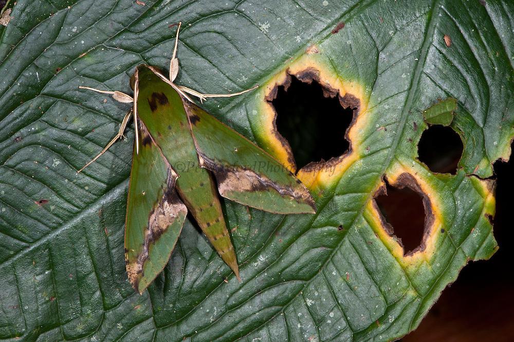 Chiron Sphinx Moth (Xylophanes chiron)<br /> Yasuni National Park, Amazon Rainforest<br /> ECUADOR. South America<br /> HABITAT & RANGE: Mexico south to northern Argentina