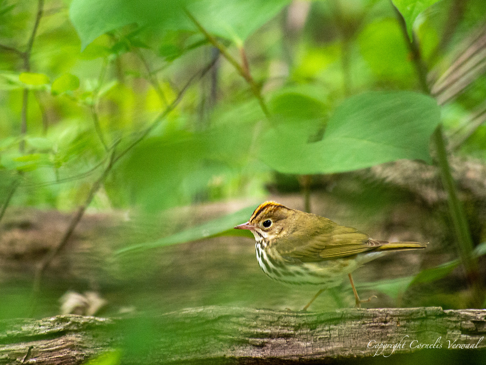 A speedy little Ovenbird in The Ramble of Central Park.