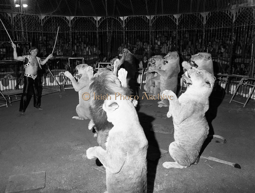 08.09.1984<br /> 09.08.1984.<br /> 8th September 1984.<br /> Chipperfield's circus performed before packed houses in Mullingar, Co Westmeath.<br /> <br /> Picture of Mr Richard Chipperfield, cracking the whip, as he leads his pride of lions through their routine.The pride is made up of both lions and lionesses.