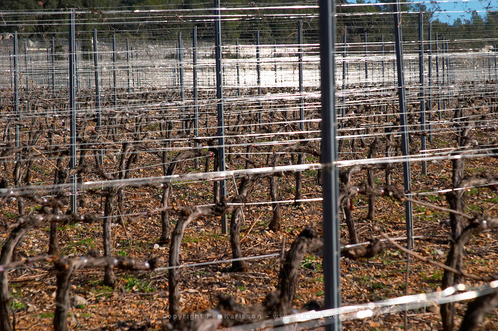 Domaine de Mas de Martin, St Bauzille de Montmel. Gres de Montpellier. Languedoc. Vines trained in Cordon royat pruning. Metal supporting wires for the vines making graphic reflections in the vineyard. In the vineyard. France. Europe.