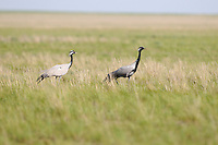 A demoiselle crane pair (Anthropoides virgo), Rostovsky Nature Reserve, Rostov Region, Russia.
