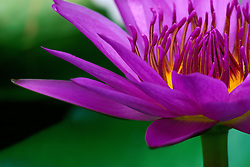 Asia, Thailand, Bangkok, close-up of lotus flower