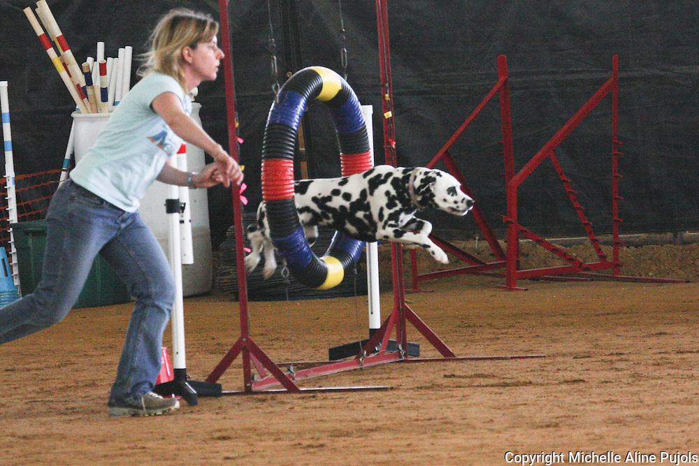 Dalmatian jumping at Dog Agility Trials
