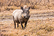 Warthog (Phacochoerus africanus) Photographed in Tanzania
