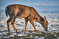 Doe looking for a meal in the snow in the afternoon sun. Image taken with a Nikon D5 camera and 80-400 mm VRII telephoto zoom lens (ISO 500, 400 mm, f/5.6, 1/400 sec)