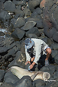 NOAA researcher Mark Sullivan uses hair color bleach to mark an identifying number on the fur of a sleeping Hawaiian monk seal, Monachus schauinslandi, Critically Endangered endemic species; west end of Molokai, Hawaii, photo taken under NOAA permit 10137-6, Ho ike a Maka Project