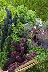 Trug of mixed kale
