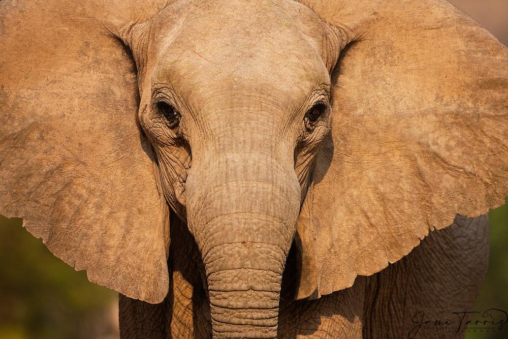 A close-up portrait of a desert-dwelling elephant (Loxodonta africana) in warm evening light,  Skeleton Coast, Namibia, Africa