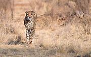 Female cheetah (Acinonyx jubatus) in Samburu National Reserve, Kenya.
