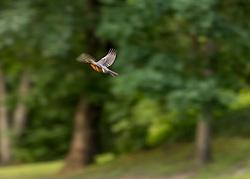 A robin flies across my yard