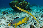 Spanish Hogfish (Bodianus rufus) & Trumpetfish, (Aulostomus maculatus)<br /> BONAIRE, Netherlands Antilles, Caribbean<br /> HABITAT & DISTRIBUTION: Reefs<br /> Florida, Bahamas, Caribbean, Gulf of Mexico, Bermuda & south to Brazil.