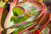 Red and Green Succulent Plant
