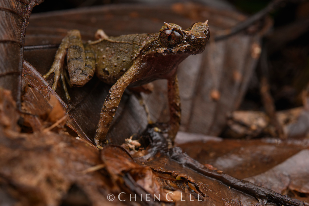 With half a dozen species, Borneo is famous for its horned frogs. These are denizens of the rainforest floor and as such are expertly camouflaged for hiding among leaf litter. Most species rely so much on crypsis to avoid detection they have neglected other adaptations to escape predators, such as having weak legs for jumping. This is the rarest of the Bornean species: the Mulu Horned Frog (Megophrys dringi) which has only been known from a handful of sightings. This paucity of records is undoubtedly due to the remote locality where it occurs: high-elevation moss forests adjacent to clear mountain streams. Mulu National Park, Sarawak, Malaysia (Borneo).