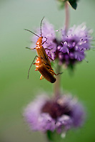 Pennyroyal (Mentha pulegium) closeup with Soldier Beetles (Cantharis fusca) , Hortobagy National Park, Hungary