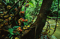 Fig trees (Ficus minahassae) grow along a stream in the rain forest of Northern Sierra Made Natural Park.