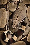 Redtail Boa (Boa constrictor constrictor) CAPTIVE<br /> ECUADOR. South America