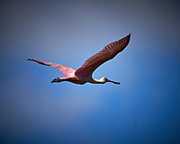Roseate Spoonbill in Flight. Biolab Road, Merritt Island National Wildlife Refuge. Image taken with a Nikon D4 camera and 500 mm f/4 VR lens (ISO 320, 500 mm, f/8, 1/4000 sec).