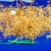A plastic bottle cap floats at the surface among sargassum seaweed (sargassum natans) in the Sargasso Sea, Atlantic Ocean.