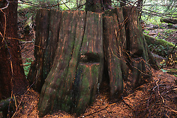 Old-Growth Western Red Cedar (Thuja plicata) Stump with Springboard Logging Notches, Mt. St. Helens National Volcanic Monument, Washington, US