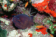 A Scarlet Skunk Cleaner Shimp (Lysmata amboinensis) rests atop a Giant Moray Eel (Gymnothorax javanicus)  while lyretail coralfish (Pseudanthias Squamipinnis) swim amongst the colorful corals, sponges, and bryozoans 50 feet below the Red Sea, Sinai, Egypt