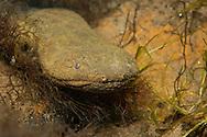 Hellbender Salamander<br /> <br /> Bryce Gibson/Engbretson Underwater Photography