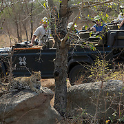 Safari guests photographing and watching leopard lying on rock. Londolozi Private Game Reserve. South Africa