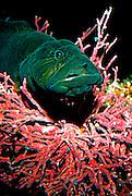 UNDERWATER MARINE LIFE EAST PACIFIC: Northeast FISH: Prickle Back Family Steiaidae