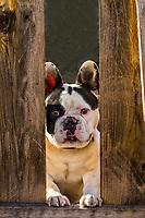 A French Bulldog looking through a hole in a fence, Littleton, Colorado USA.