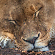 A lioness asleep at Orana Wildlife Park, Christchurch. Set on 80 hectares, Orana Wildlife Park is New Zealand 's only open range zoo. .Over 400 animals from 70 different species are displayed. Mcleans Island Road, Christchurch, New Zealand. 9th June 2011. Photo Tim Clayton.