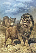 Machine colourised image of a Lion and Lioness in the wild From the book ' Royal Natural History ' Volume 1 Edited by  Richard Lydekker, Published in London by Frederick Warne & Co in 1893-1894