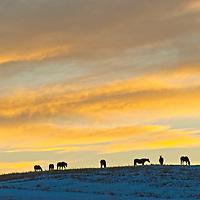 Horses graze atop a snowy ridge in the Gallatin Valley, Montana.