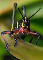Romalea microptera - Eastern Lubber Grasshopper lymph, Lady Lake Florida, USA.