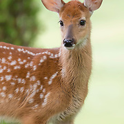 Softly lit portrait of white-tailed deer fawn, Odocoileus virginianus, highlights fluffy, spotted  coat. A fawn's spots, which enable camouflage by blending with its natural environment, fade as it reaches four months of age.