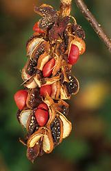 The seeds of Magnolia x soulangeana 'Lennei'