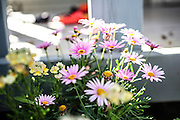 flowering garden. Blooming pink Gerbera flowers
