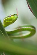 Taiwan green bamboo pit viper, Trimeresurus stejnegeri, Endemic, Kenting National Park, Taiwan