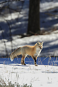 Red fox hunting in winter habitat.