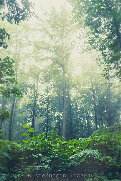 Ferns and trees on a misty Summer morning