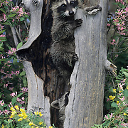 Raccoon (Procyon lotor) in a hollow tree in Montana. Captive Animal