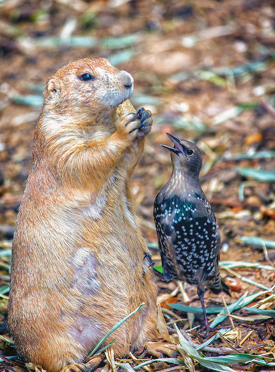 A Starling and A Prairie Dog Fight Over Peanuts at the Saint Louis Zoo