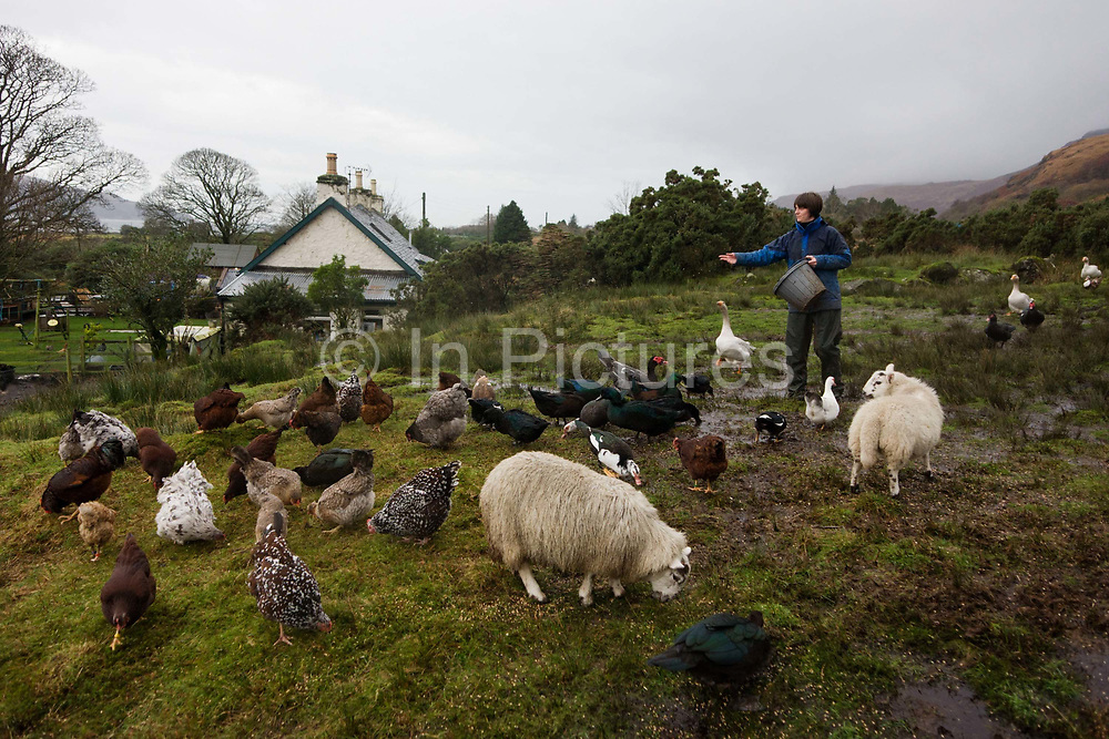 """Sarah Leggitt feeds her free range livestock on her land and near the Lochbuie estate cottage, a former Smithy with livestock near the coast at Lochbuie, Isle of Mull, Scotland. She and her husband moved from southern England 6 years ago to work for the Lochbuie Estate and the old Smithy is provided to them as living accommodation. Lochbuie is a settlement on the island of Mull in Scotland about 22 kilometres (14 mi) west of Craignure. The name is from the Scottish Gaelic Locha Buidhe, meaning """"yellow loch"""". http://lochbuie.com/Lochbuie"""