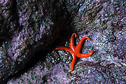A bright red starfish lies besides sea anemones on dark purple rocks in a sea cave at Shi Shi Beach, Olympic National Park, Washington.