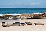 group of Hawaiian monk seals, Monachus schauinslandi, with dominant male growling; Critically Endangered endemic species, resting on beach at west end of Molokai Island, Hawaii ( Central Pacific Ocean )