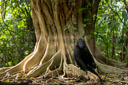 Crested Black Macaques (Macaca nigra) resting at a fig tree (Ficus variegata) in Tangkoko Nature Reserve, northern Sulawesi, Indonesia.