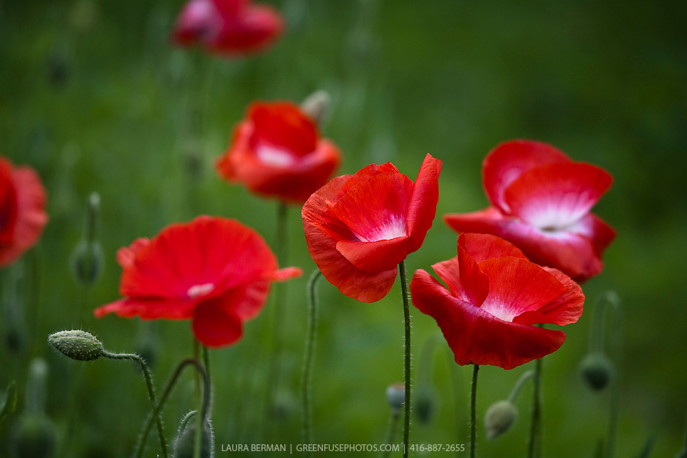 Corn poppy (Papaver rhoeas) is a species of flowering plant in the family Papaveraceae. It has a variety of common names, including the Corn Poppy, Field Poppy, Flanders Poppy, or Red Poppy,