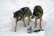A pair of European gray wolves (Canis lupus), in snow, Finland, Lapland