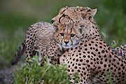 A cheetah mother and her cub (Acinonyx jubatus) nuzzling together in the morning,  Ndutu, Ngorongoro Conservation Area, Tanzania, Africa