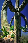 Saguaro cactus in bloom in Saguaro National Park (West Unit), near Phoenix, Arizona